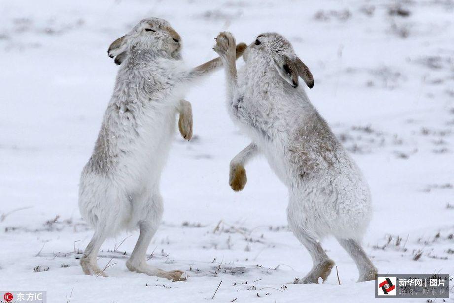 2017年1月6日报道,乍看这图你是不是也以为这是两只兔子在打架?