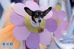 狗狗盛装秀