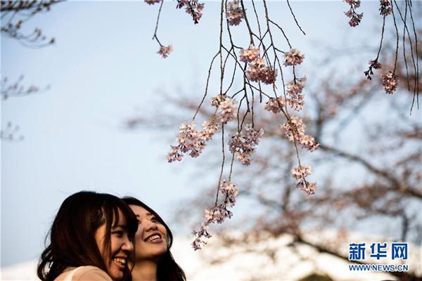 东京樱花进入盛花期