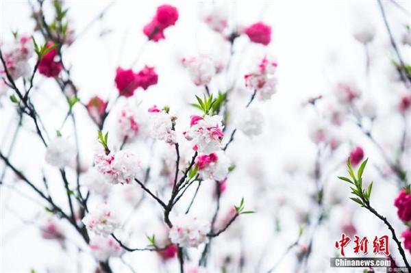 """杭州现""""奇葩""""桃树 既开白花又开红花"""