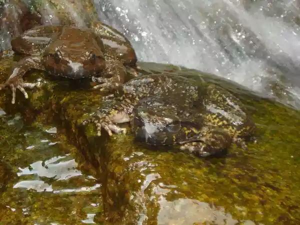 野生石蛙是国家二级保护动物,又叫(棘胸蛙 )是我国南方山区特有的名贵产品   本网讯(通讯员 郭义东 周立林 吴林庭)7月28日晚,大老岭自然保护区管理局五指山管理站工作人员在猪槽沟原始森林查处一起捕猎野生动物案件,现场抓获嫌疑人3名,做案车辆1辆,缴获盗捕野生石蛙5只。   五指山管理站值班人员在查看资源保护监控时,发现有不明车辆停靠在猪草沟原始森林,疑似盗捕野生动物。值班人员迅速组织巡护人员赶往查看,但并未发现人员,经过两个小时的蹲守,发现3名不明身份人员在河沟捕捞野生石蛙,巡护人员立即控制3人