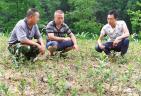 中华蚊母助推山区绿色发展